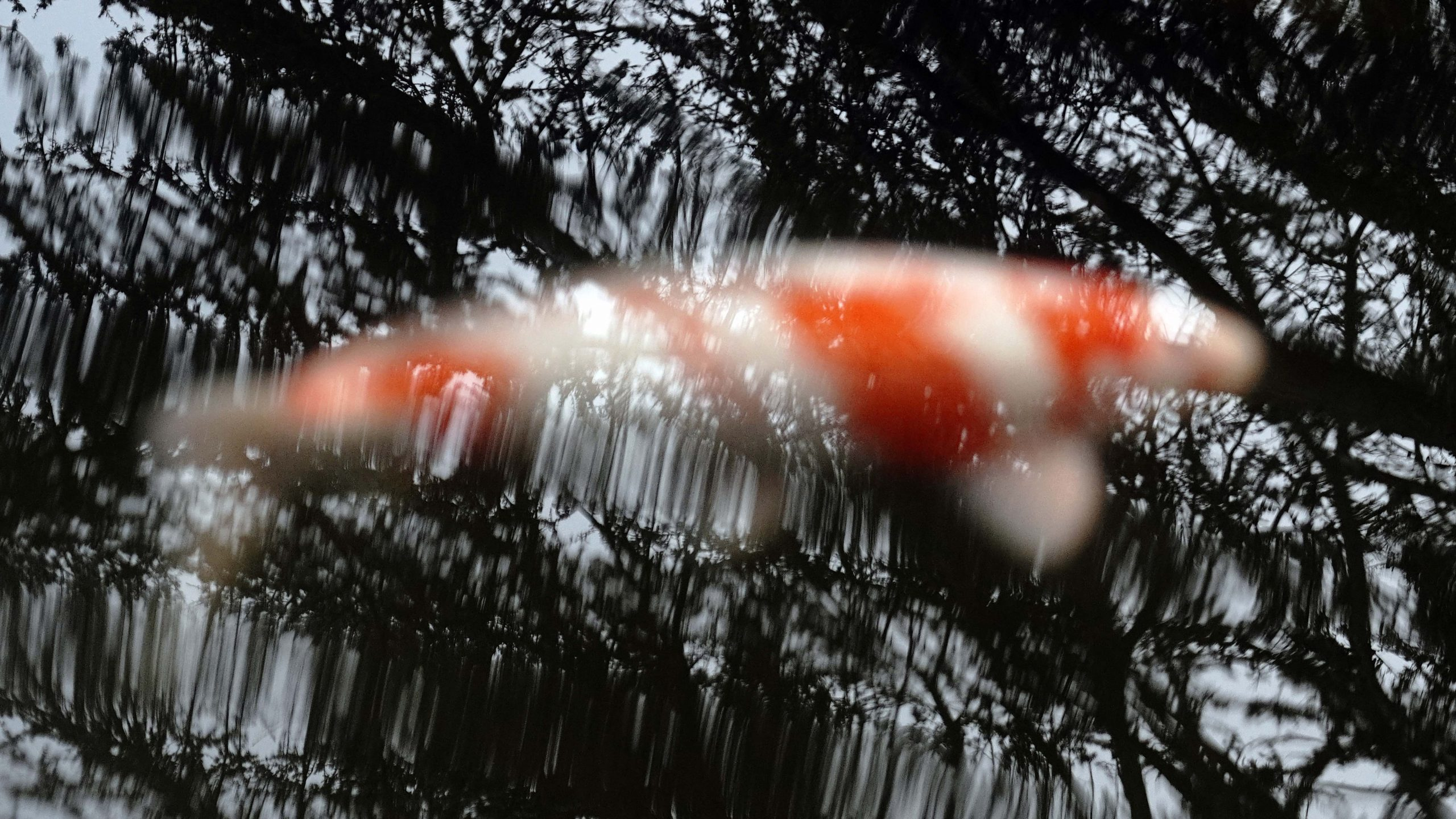 A koi fish in a pond at the Kubota Garden in Seattle